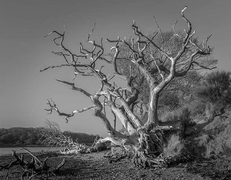 Dead Tree, Birdham