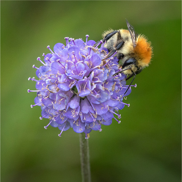 =3rd - Carder Bee on Scabious L Betts