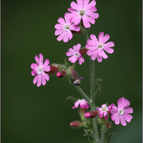 Red Campion
