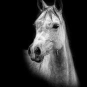 02_Grey Arab.jpg