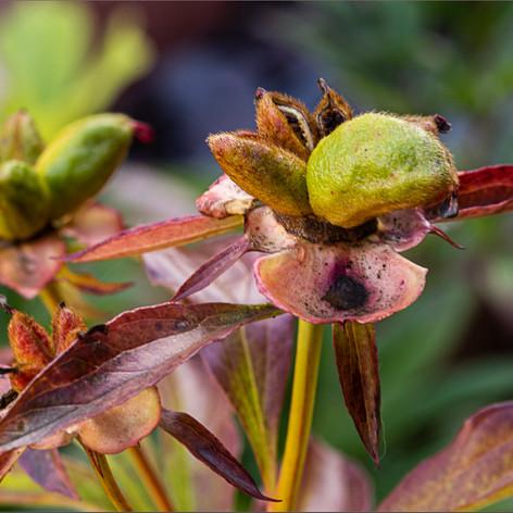 Peony Seed Pods