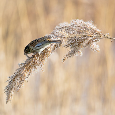Reed and Bunting