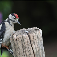 Young Great Spotted Woodpecker