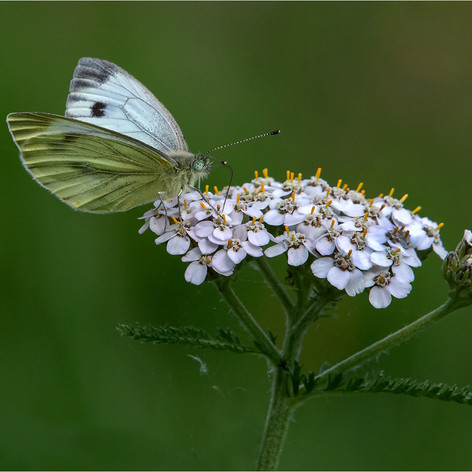 Green Veined White Butterfly 6