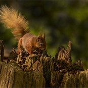 Red Squirrel Searching For Food