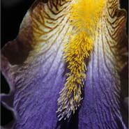 The Beard of the Iris