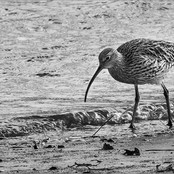 Wading Curlew