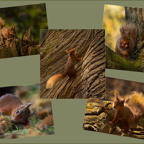 Red Squirrels of Brownsea Island, Dorset