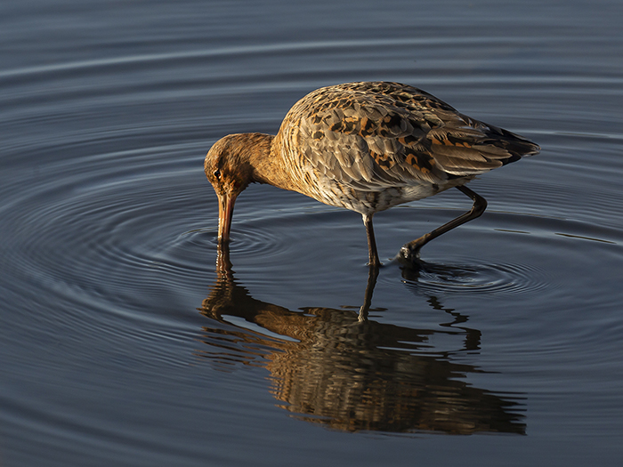 Black Tailed Godwit at Dawn