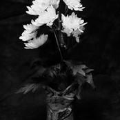 The White Chrysanthemum