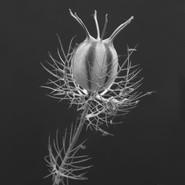 Nigella damascena Seed Head