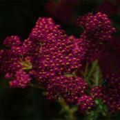 01_Achillea Millefolium Rubra_G Philpott