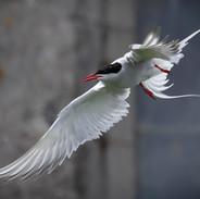 Tern Turmoil
