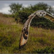 Gromit the Eagle Owl