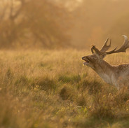 01 Evening Light at the Fallow Deer Rut