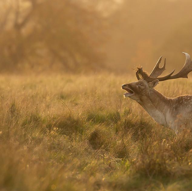 01 Evening Light at the Fallow Deer Rut
