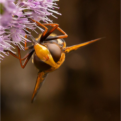 Hornet Hover Fly
