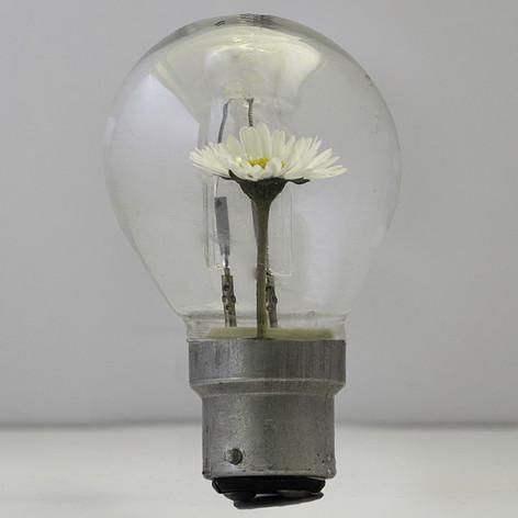Daisy Bulb
