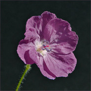 Opium Poppy (2)