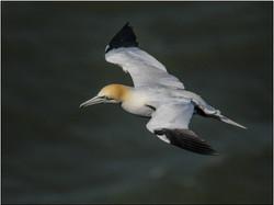 Atlantic Gannet