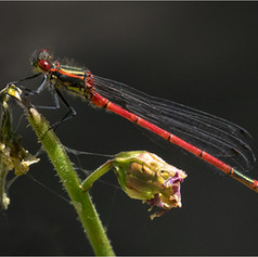 Large Red Bodied Damselfly