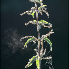 Nettle with Soft Smoke of Pollen