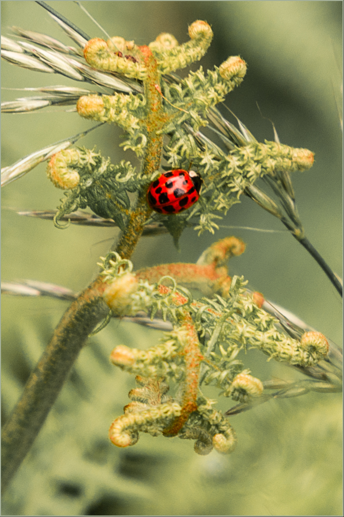 Ladybird on Bracken