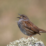 02 Dunnock in Full Voice G Smith (19).jp