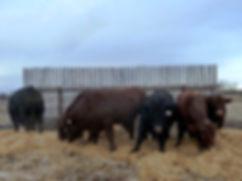 2019 yearling bulls.jpg