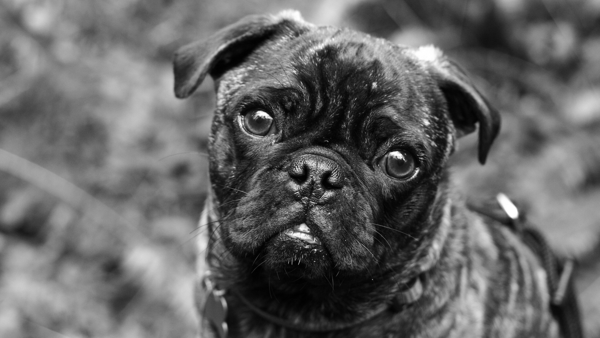"""Photogenic Pug"" Photograph"