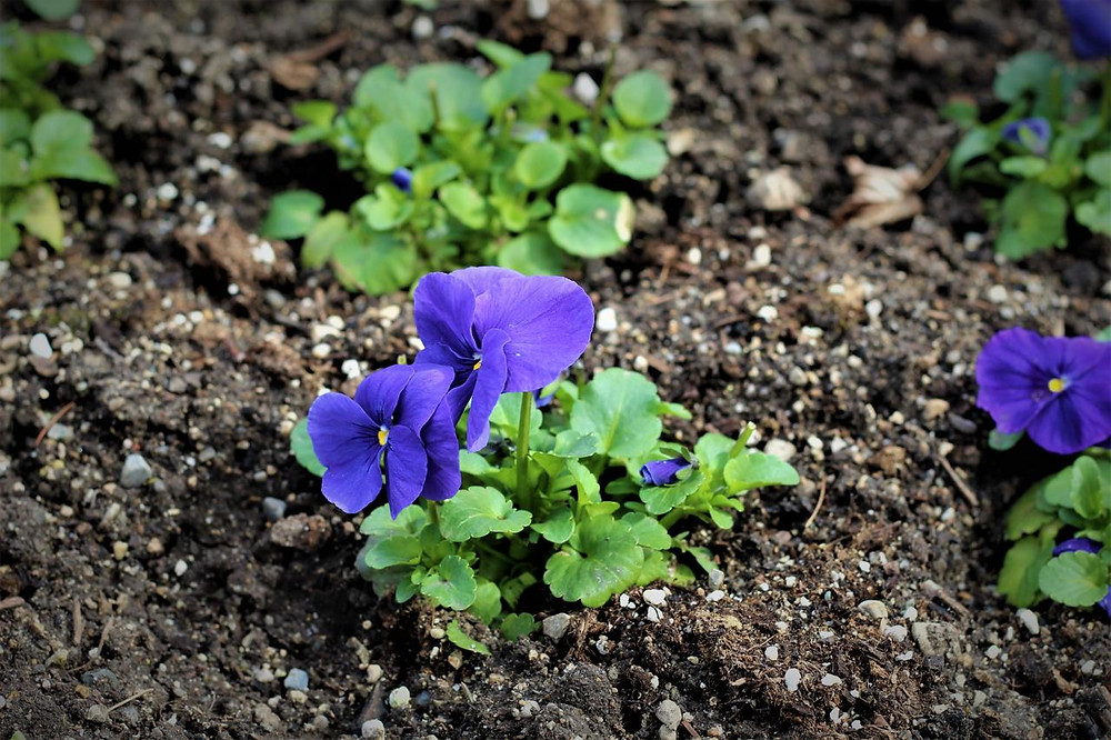 Chiemsee-Blume