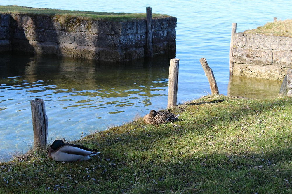 Fraueninsel-Enten