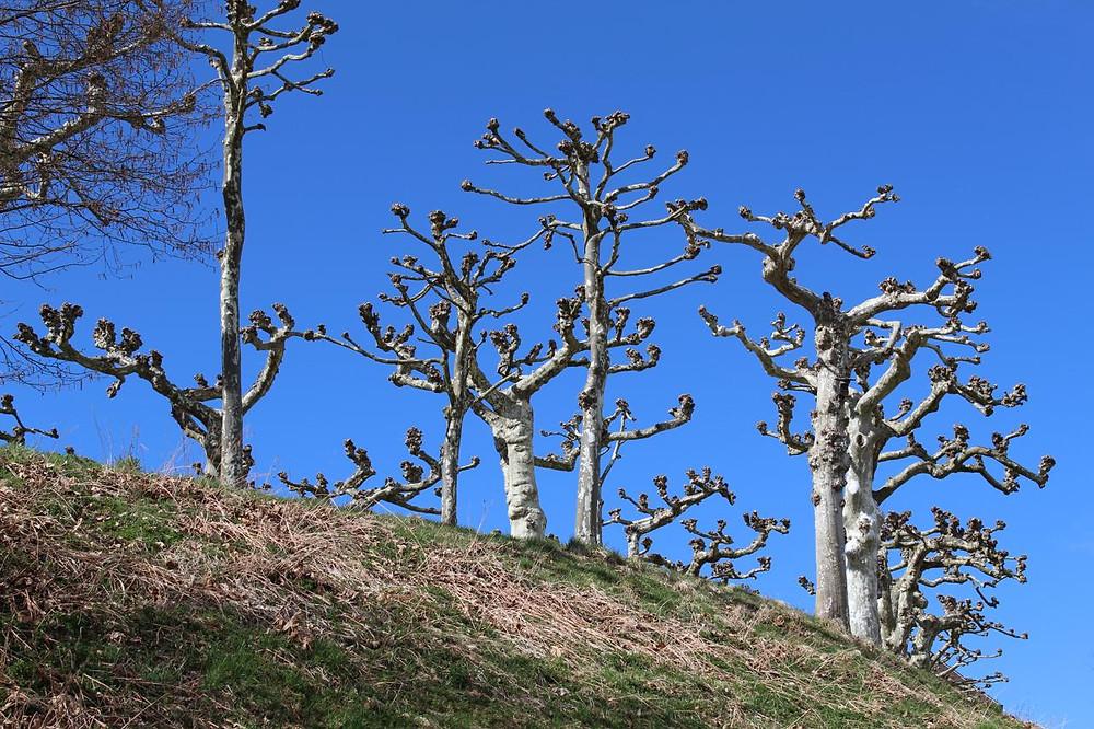 Chiemsee-Baum