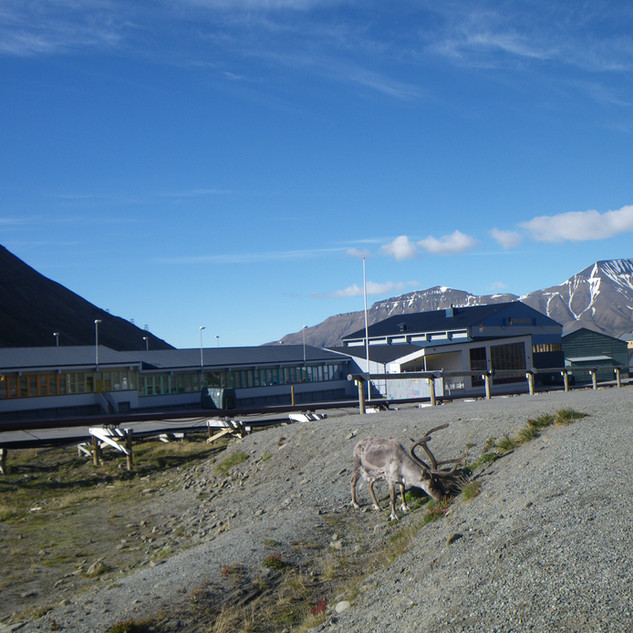 each day I walk along this road to get to the harbour... passing the hardy, friendly-enough Svalbard reindeer