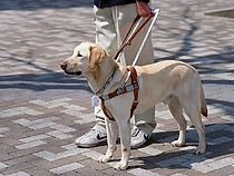 Service dog on a harness standing beside person.