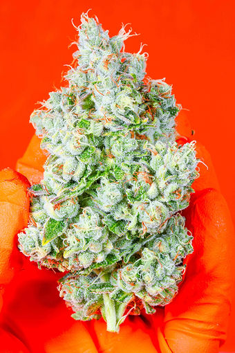 OMFG cannabis nug