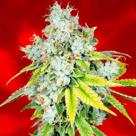IC Collective Cannabis