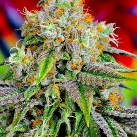 iccollective Cannabis Ziablo