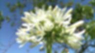 Agapanthus blanco.jpg