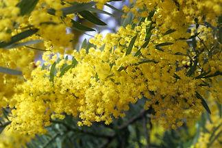 Acacia cyanophylla