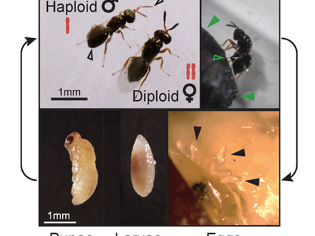 Disentangling a holobiont–recent advances and perspectives in Nasonia wasps