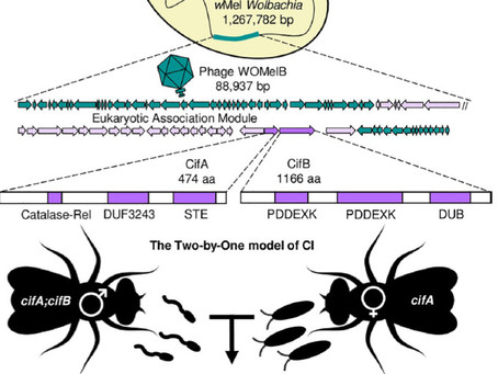 Two-By-One model of cytoplasmic incompatibility: Synthetic recapitulation by transgenic expression..