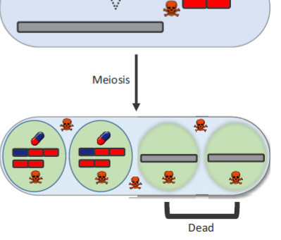 Heredity: The gene family that cheats Mendel
