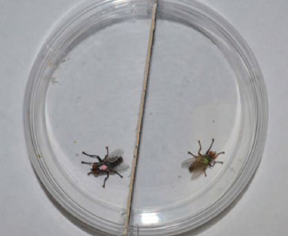 Extensive reorganization of behavior accompanies ontogeny of aggression in male flesh flies...