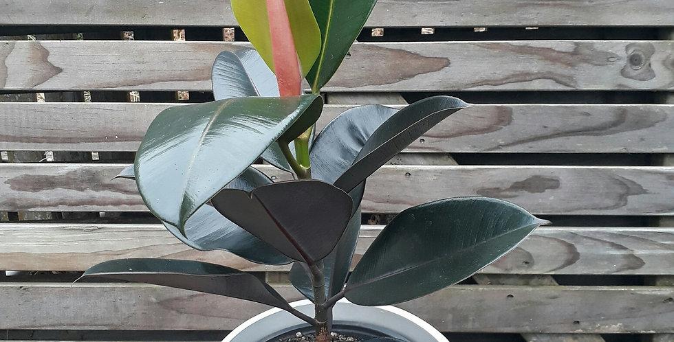 "Ficus ""Black Knight"""