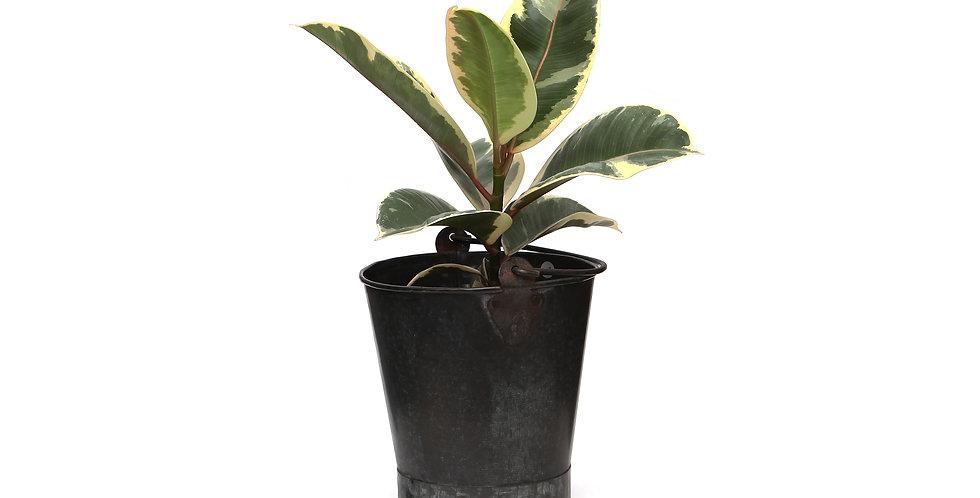 Ficus elastica - Tineke