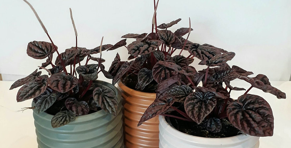 Peperomia Burgandy with cover pot