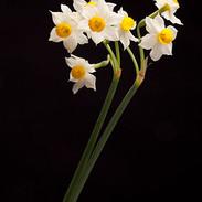 Narcicillos