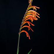 Flor de espada
