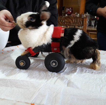 Carro ortopédico diseñado a medida tambien para animales exóticos.